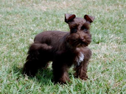 Toy And Teacup Schnauzers From Schnauzer Tiny Treasures